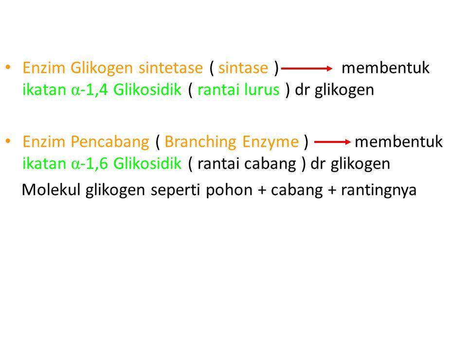 Enzim Glikogen sintetase ( sintase ) membentuk ikatan α -1,4 Glikosidik ( rantai lurus ) dr glikogen Enzim Pencabang ( Branching Enzyme ) membentuk ikatan α -1,6 Glikosidik ( rantai cabang ) dr glikogen Molekul glikogen seperti pohon + cabang + rantingnya