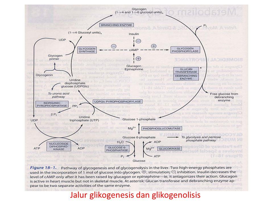 Jalur glikogenesis dan glikogenolisis
