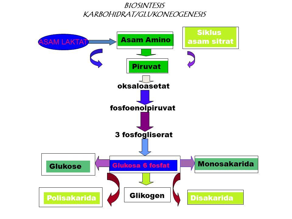 Asam Amino Siklus asam sitrat BIOSINTESIS KARBOHIDRAT/GLUKONEOGENESIS Piruvat fosfoenolpiruvat 3 fosfogliserat Glukose Glikogen DisakaridaPolisakarida Monosakarida oksaloasetat Glukosa 6 fosfat ASAM LAKTAT