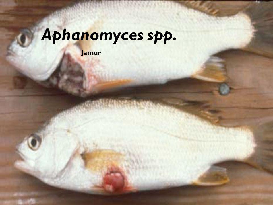 Aphanomyces spp. Jamur