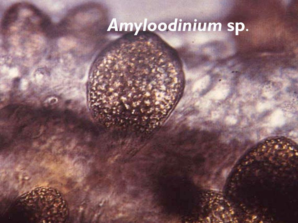 Amyloodinium sp.