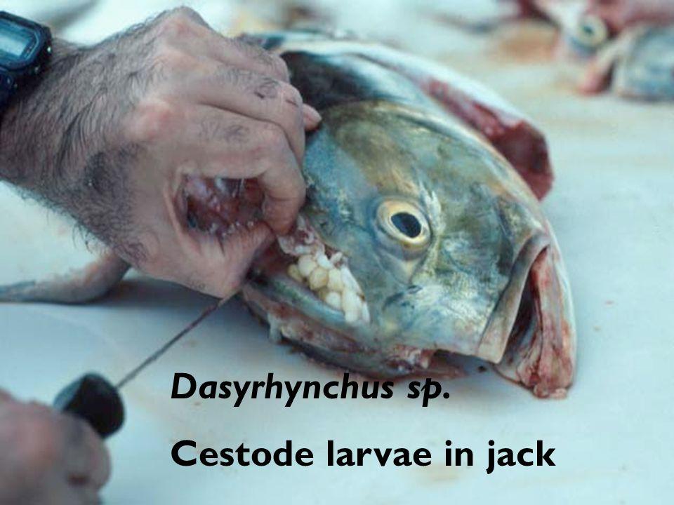 Dasyrhynchus sp. Cestode larvae in jack