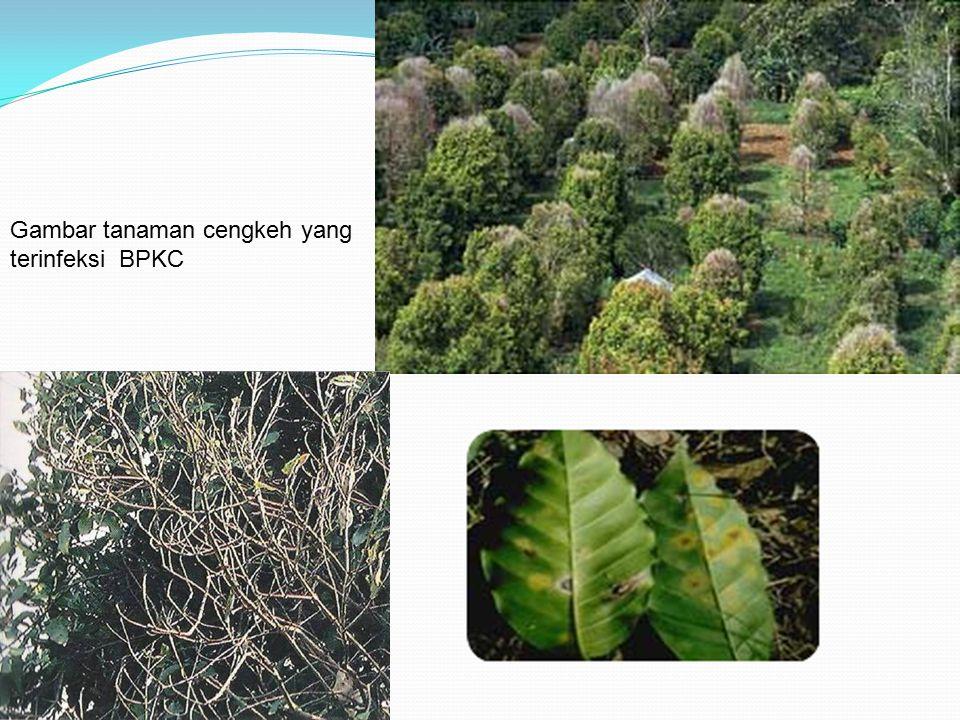 Gambar tanaman cengkeh yang terinfeksi BPKC