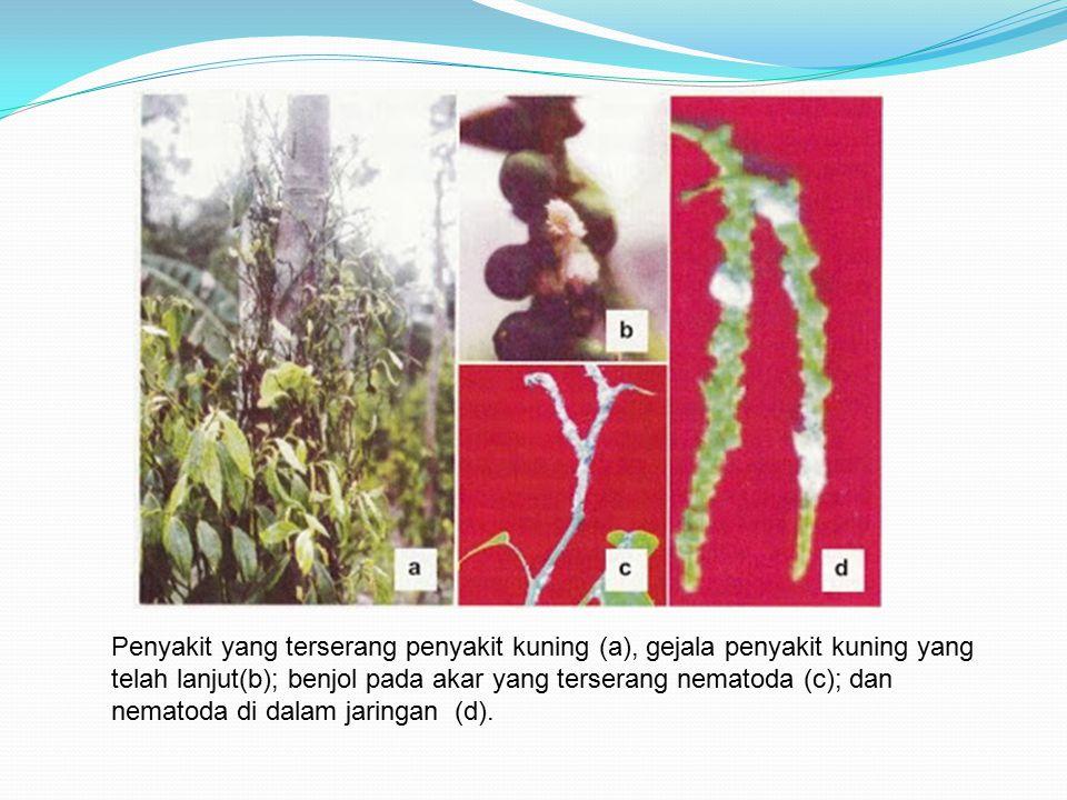 Penyakit yang terserang penyakit kuning (a), gejala penyakit kuning yang telah lanjut(b); benjol pada akar yang terserang nematoda (c); dan nematoda d