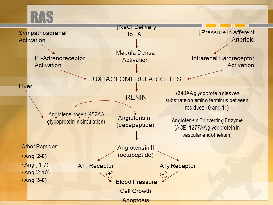 RAS + Other Peptides: Ang (2-8) Ang ( 1-7) Ang (2-10) Ang (3-8) Sympathoadrenal Activation ↓NaCl Delivery to TAL ↓Pressure in Afferent Arteriole B 1 -Adrenoreceptor Activation Macula Densa Activation Intrarenal Baroreceptor Activation JUXTAGLOMERULAR CELLS Liver (340AA glycoprotein cleaves substrate on amino terminus between residues 10 and 11) Angiotensinogen (452AA glycoprotein in circulation) Angiotensin I (decapeptide) Angiotensin Converting Enzyme (ACE; 1277AA glycoprotein in vascular endothelium) Angiotensin II (octapeptide) AT 1 ReceptorAT 2 Receptor - Blood Pressure Cell Growth Apoptosis RENIN