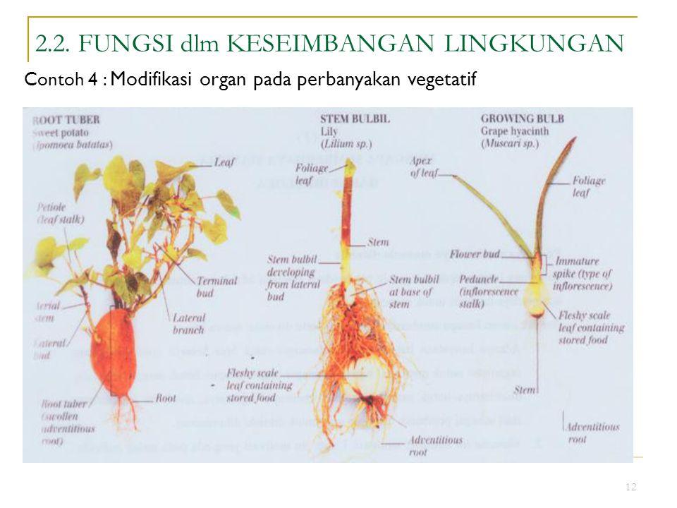 12 2.2. FUNGSI dlm KESEIMBANGAN LINGKUNGAN Contoh 4 : Modifikasi organ pada perbanyakan vegetatif