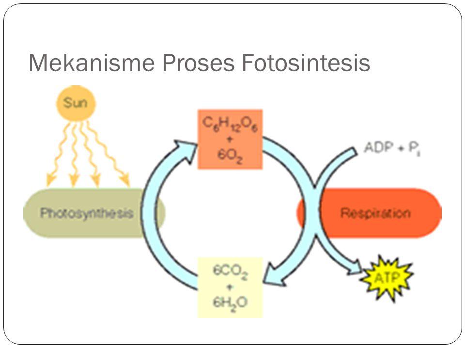 Mekanisme Proses Fotosintesis