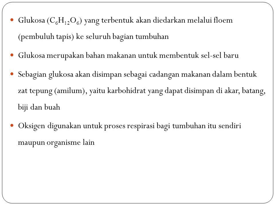 Glukosa (C 6 H 12 O 6 ) yang terbentuk akan diedarkan melalui floem (pembuluh tapis) ke seluruh bagian tumbuhan Glukosa merupakan bahan makanan untuk