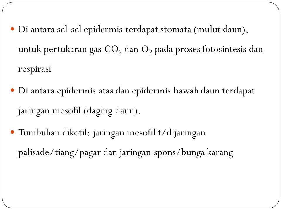 Di antara sel-sel epidermis terdapat stomata (mulut daun), untuk pertukaran gas CO 2 dan O 2 pada proses fotosintesis dan respirasi Di antara epidermi