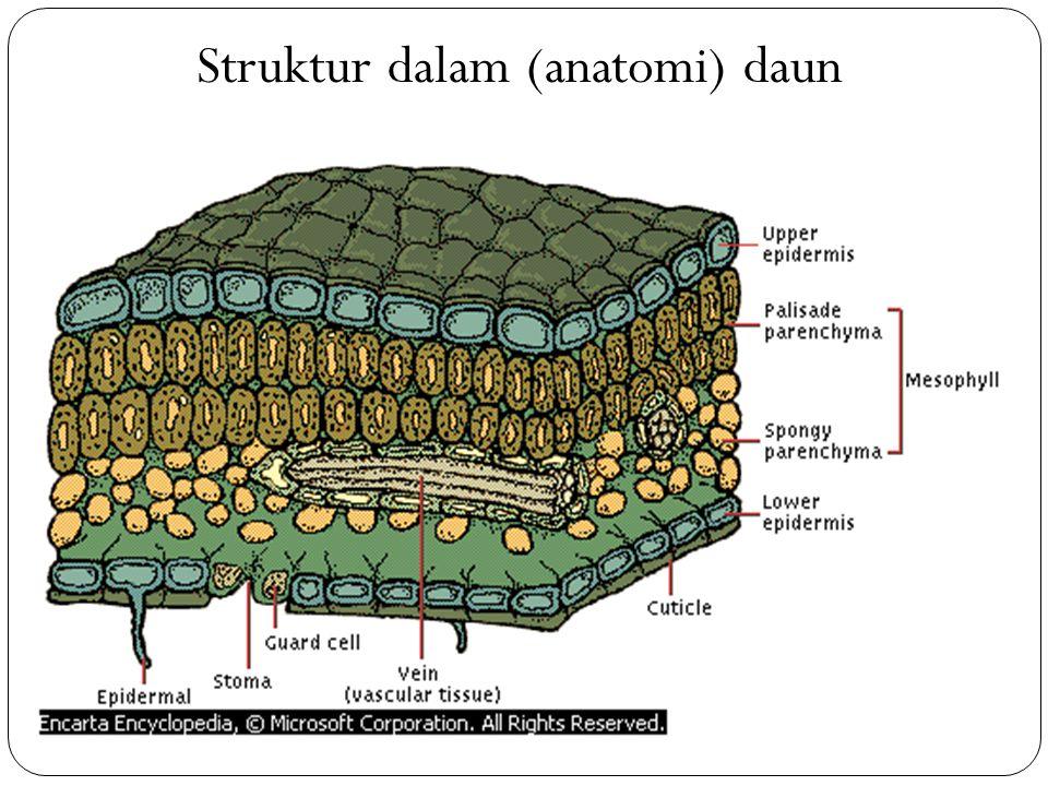 Struktur dalam (anatomi) daun