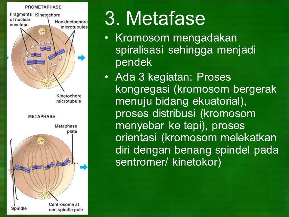 3. Metafase Kromosom mengadakan spiralisasi sehingga menjadi pendek Ada 3 kegiatan: Proses kongregasi (kromosom bergerak menuju bidang ekuatorial), pr
