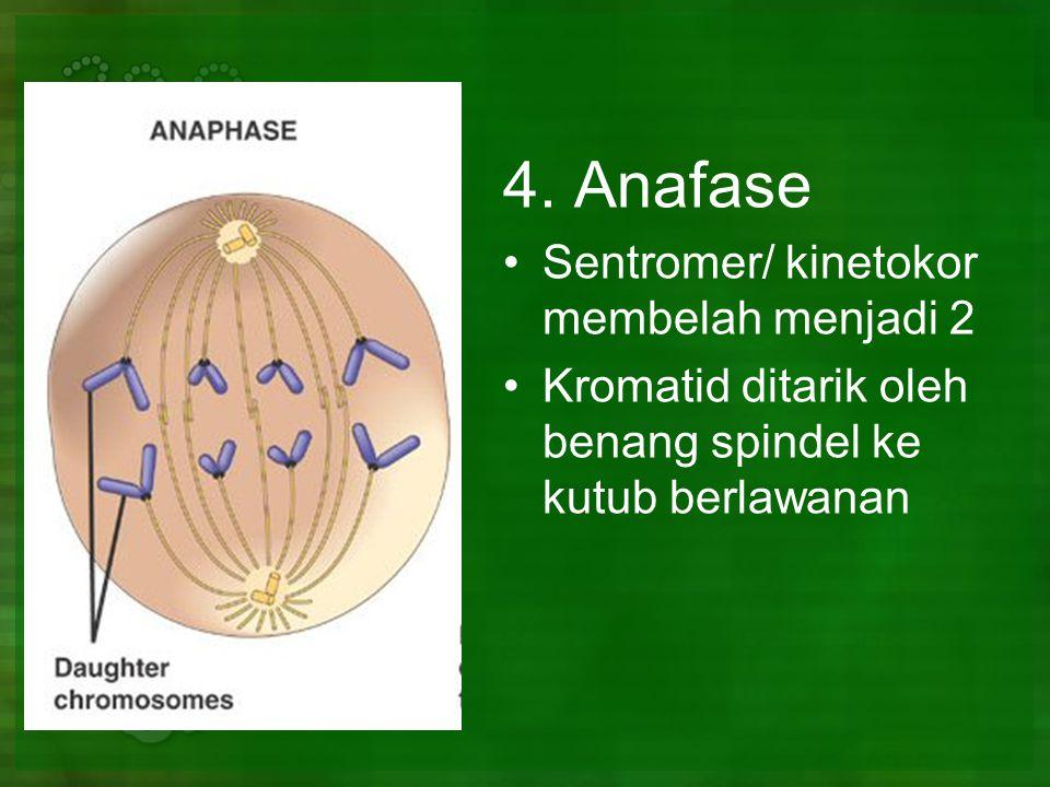 4. Anafase Sentromer/ kinetokor membelah menjadi 2 Kromatid ditarik oleh benang spindel ke kutub berlawanan