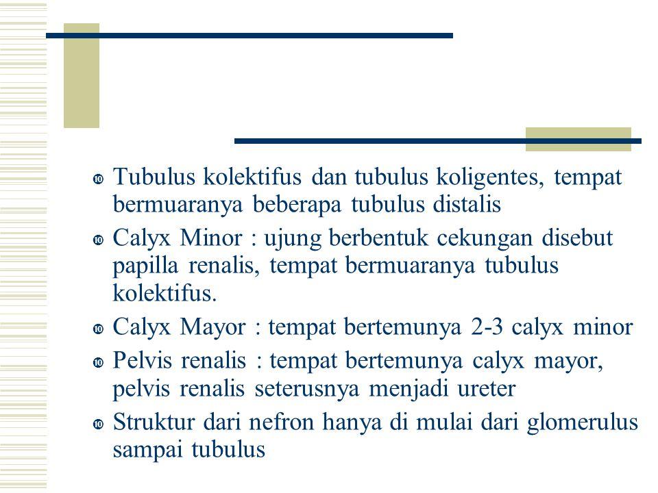  Calyx Minor : ujung berbentuk cekungan disebut papilla renalis, tempat bermuaranya tubulus kolektifus.  Calyx Mayor : tempat bertemunya 2-3 calyx m
