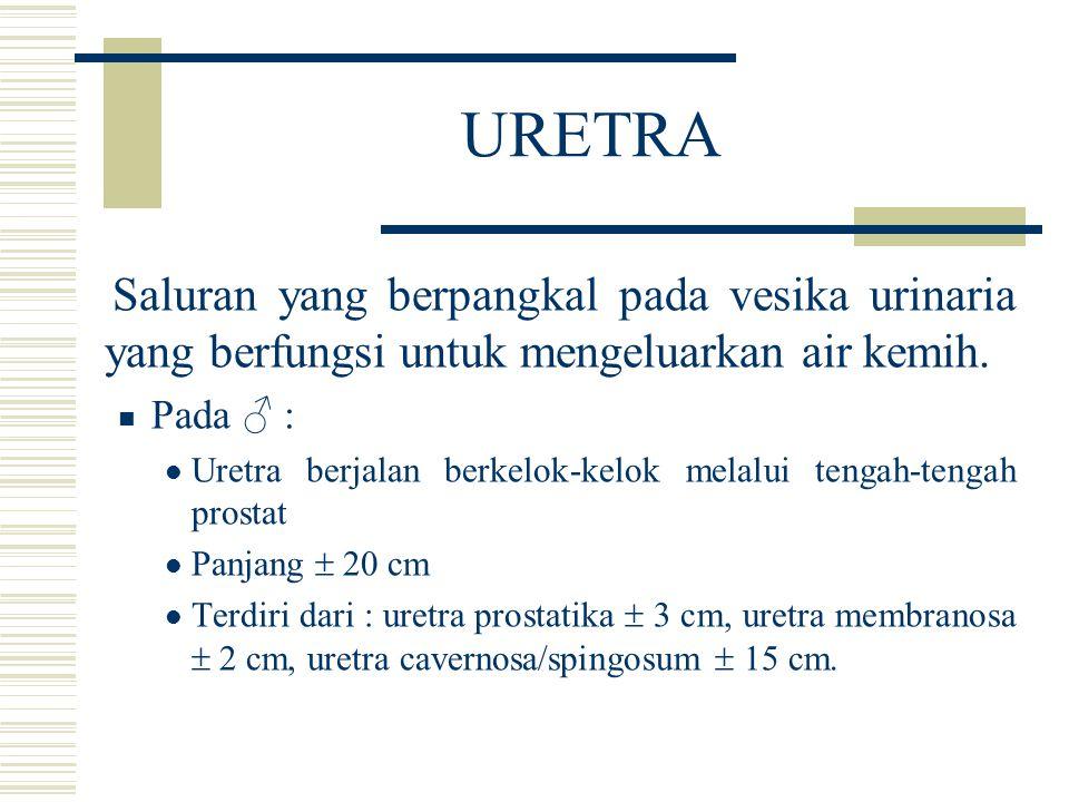 URETRA Saluran yang berpangkal pada vesika urinaria yang berfungsi untuk mengeluarkan air kemih. Pada ♂ : Uretra berjalan berkelok-kelok melalui tenga