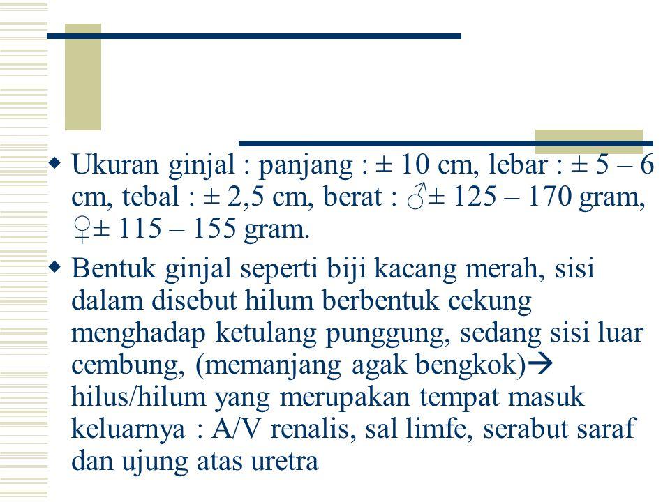  Ukuran ginjal : panjang : ± 10 cm, lebar : ± 5 – 6 cm, tebal : ± 2,5 cm, berat : ♂± 125 – 170 gram, ♀± 115 – 155 gram.  Bentuk ginjal seperti biji