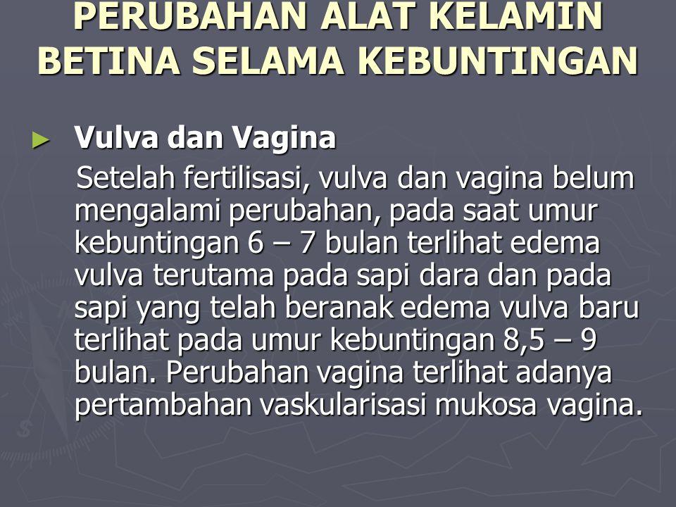 PERUBAHAN ALAT KELAMIN BETINA SELAMA KEBUNTINGAN ► Vulva dan Vagina Setelah fertilisasi, vulva dan vagina belum mengalami perubahan, pada saat umur kebuntingan 6 – 7 bulan terlihat edema vulva terutama pada sapi dara dan pada sapi yang telah beranak edema vulva baru terlihat pada umur kebuntingan 8,5 – 9 bulan.
