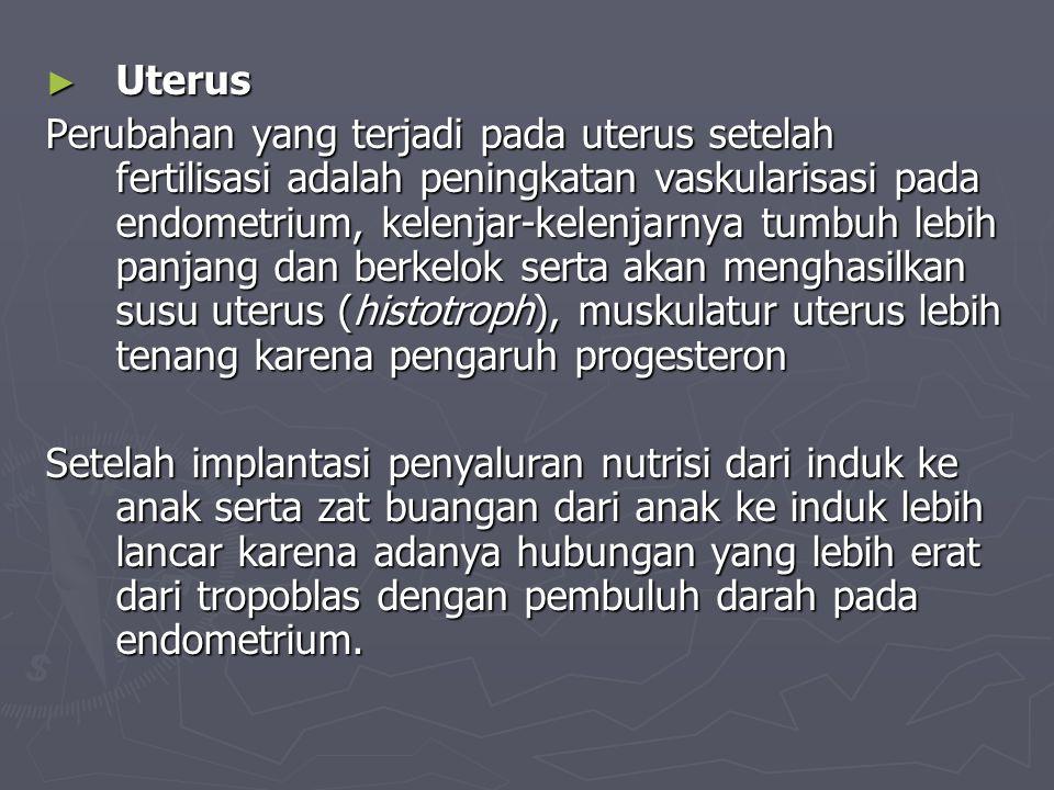 ► Uterus Perubahan yang terjadi pada uterus setelah fertilisasi adalah peningkatan vaskularisasi pada endometrium, kelenjar-kelenjarnya tumbuh lebih p
