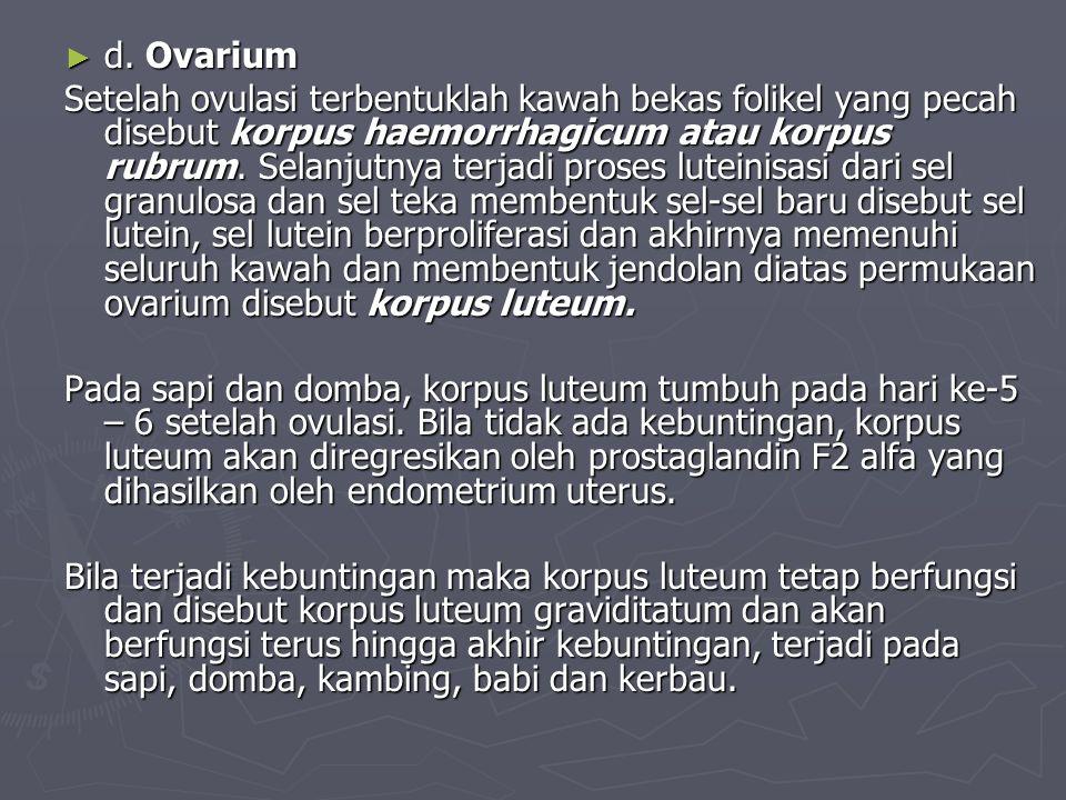► d. Ovarium Setelah ovulasi terbentuklah kawah bekas folikel yang pecah disebut korpus haemorrhagicum atau korpus rubrum. Selanjutnya terjadi proses