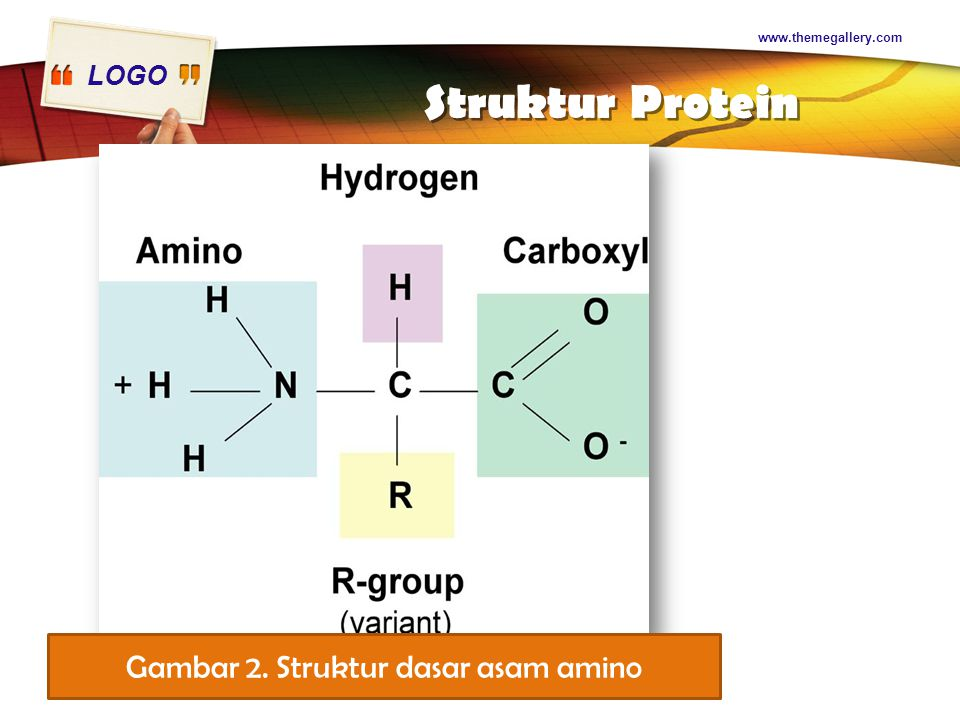 LOGO Struktur Protein www.themegallery.com Gambar 2. Struktur dasar asam amino