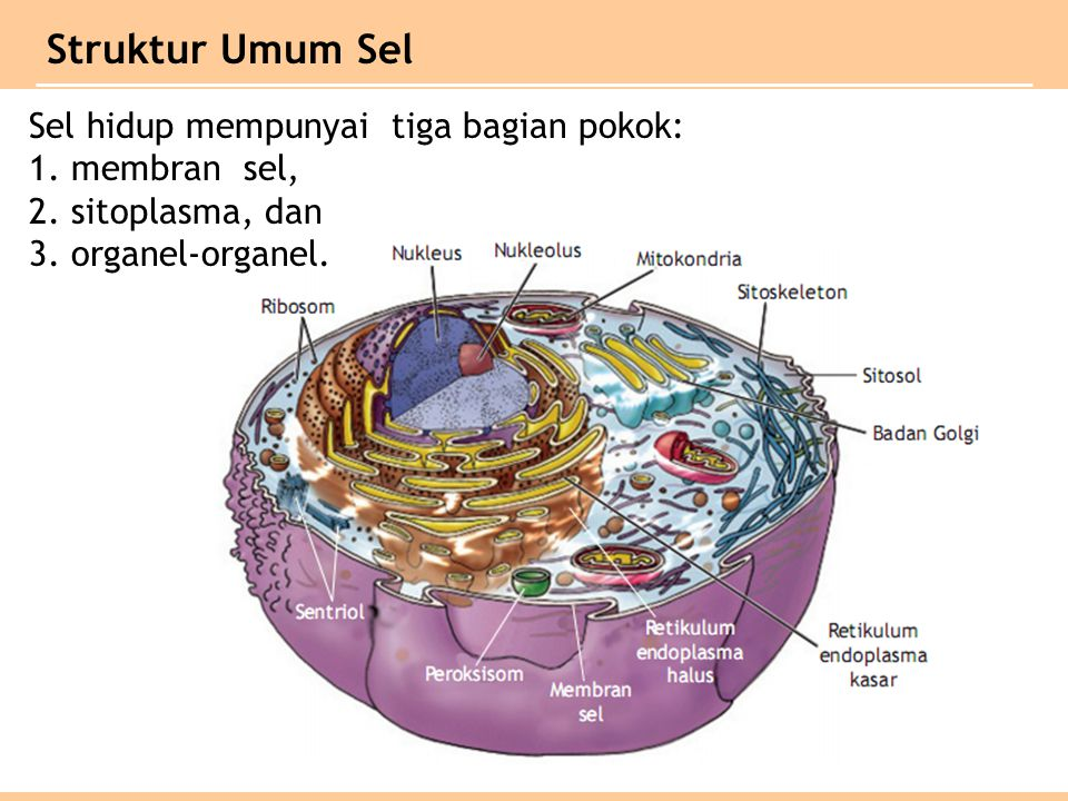 Sel hidup mempunyai tiga bagian pokok: 1.membran sel, 2.