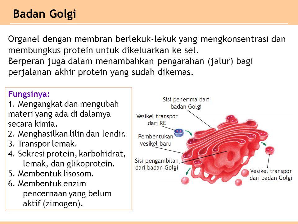 Organel dengan membran berlekuk-lekuk yang mengkonsentrasi dan membungkus protein untuk dikeluarkan ke sel.