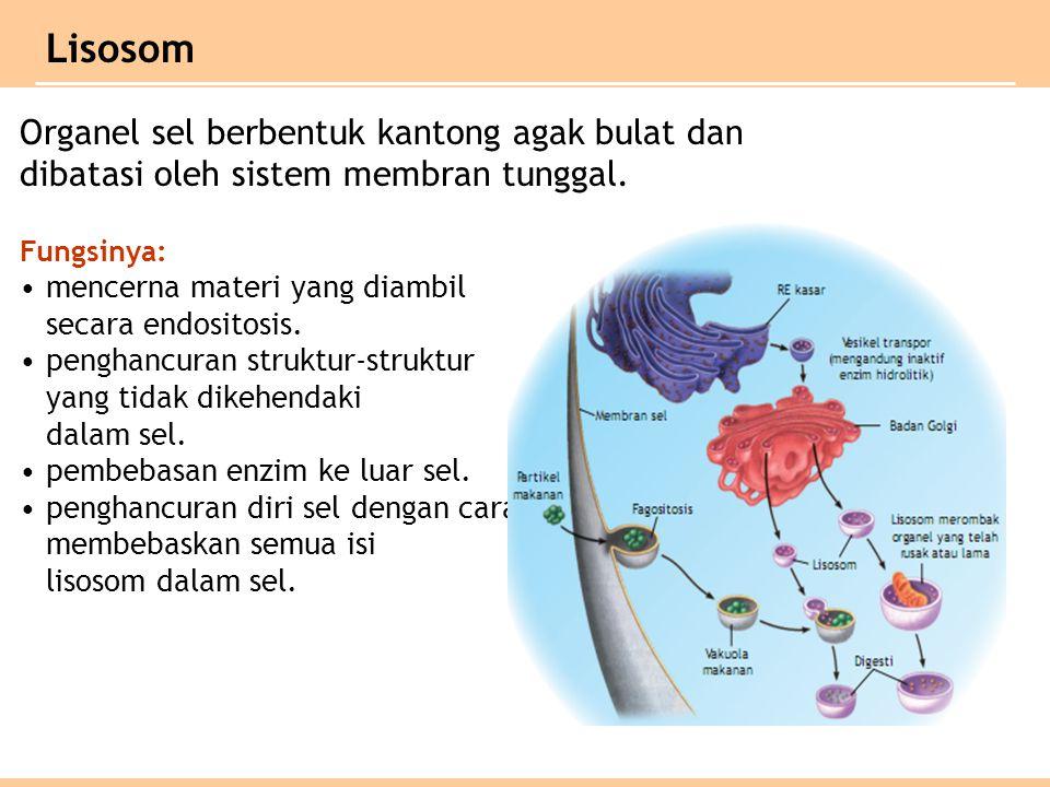 Lisosom Organel sel berbentuk kantong agak bulat dan dibatasi oleh sistem membran tunggal.