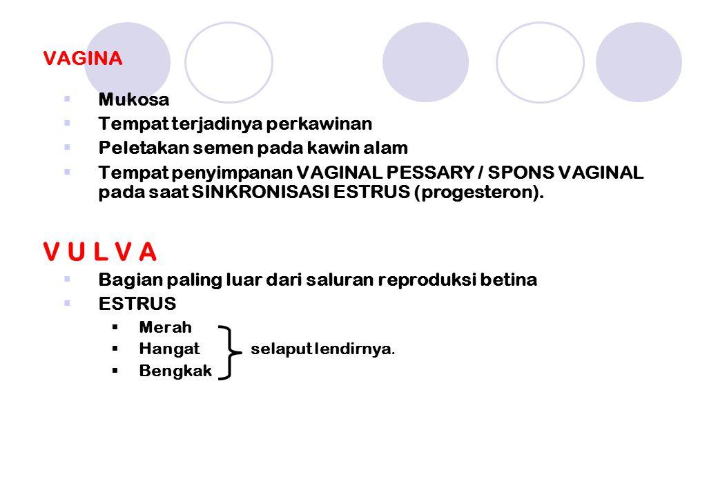 VAGINA  Mukosa  Tempat terjadinya perkawinan  Peletakan semen pada kawin alam  Tempat penyimpanan VAGINAL PESSARY / SPONS VAGINAL pada saat SINKRONISASI ESTRUS (progesteron).