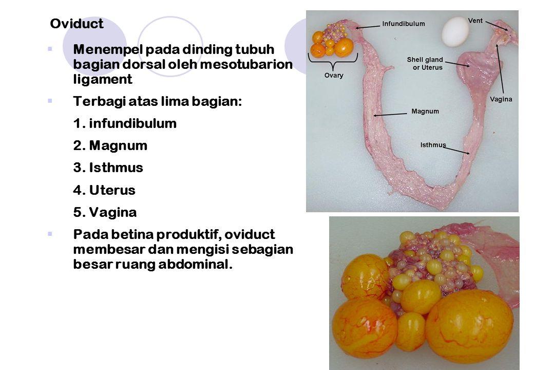  Menempel pada dinding tubuh bagian dorsal oleh mesotubarion ligament  Terbagi atas lima bagian: 1.