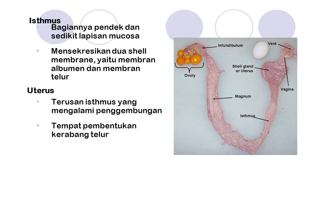 Isthmus  Bagiannya pendek dan sedikit lapisan mucosa  Mensekresikan dua shell membrane, yaitu membran albumen dan membran telur Uterus  Terusan isthmus yang mengalami penggembungan  Tempat pembentukan kerabang telur