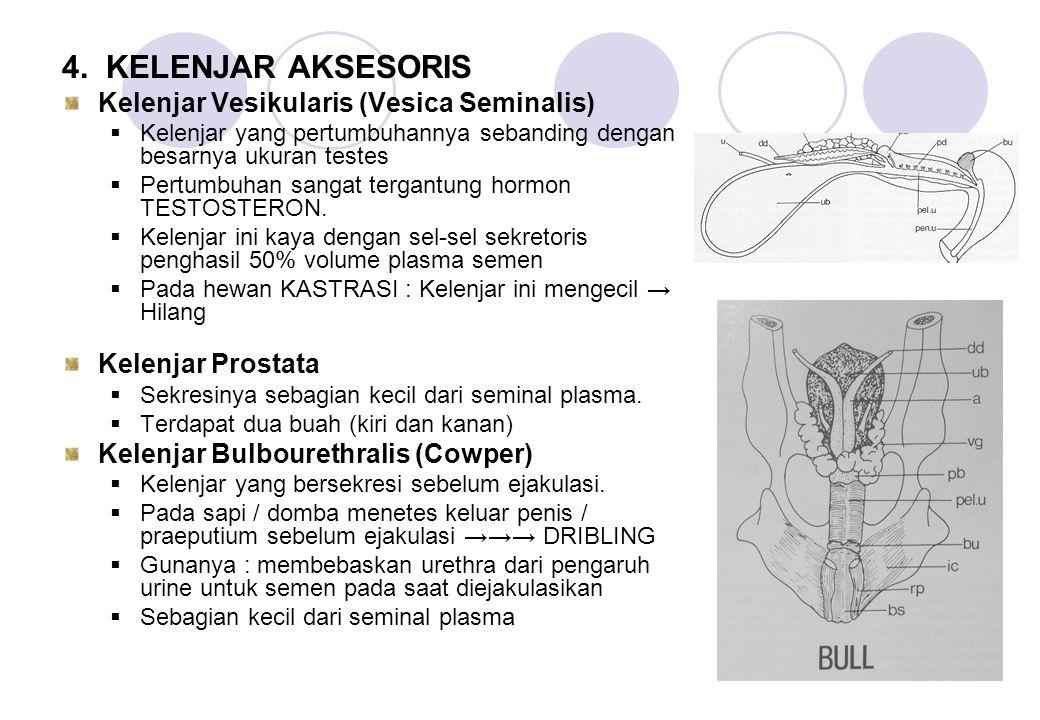 4. KELENJAR AKSESORIS Kelenjar Vesikularis (Vesica Seminalis)  Kelenjar yang pertumbuhannya sebanding dengan besarnya ukuran testes  Pertumbuhan san