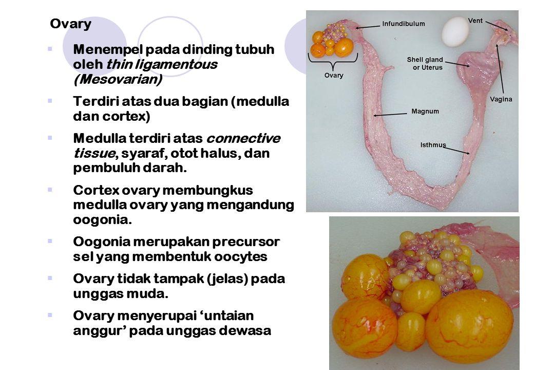  Menempel pada dinding tubuh oleh thin ligamentous (Mesovarian)  Terdiri atas dua bagian (medulla dan cortex)  Medulla terdiri atas connective tiss