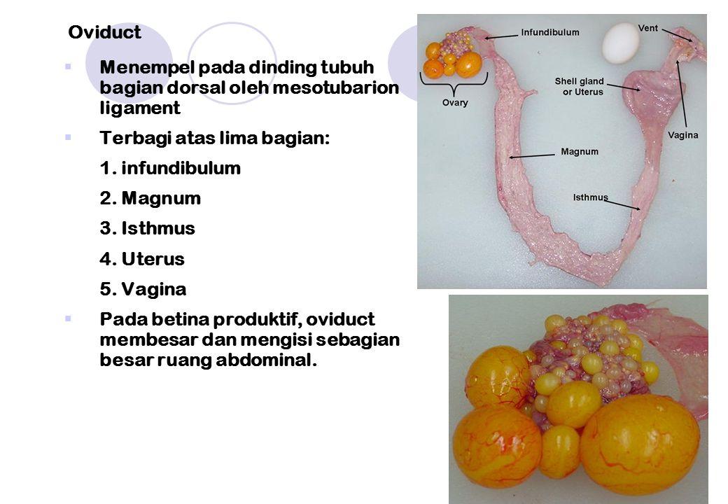  Menempel pada dinding tubuh bagian dorsal oleh mesotubarion ligament  Terbagi atas lima bagian: 1. infundibulum 2. Magnum 3. Isthmus 4. Uterus 5. V