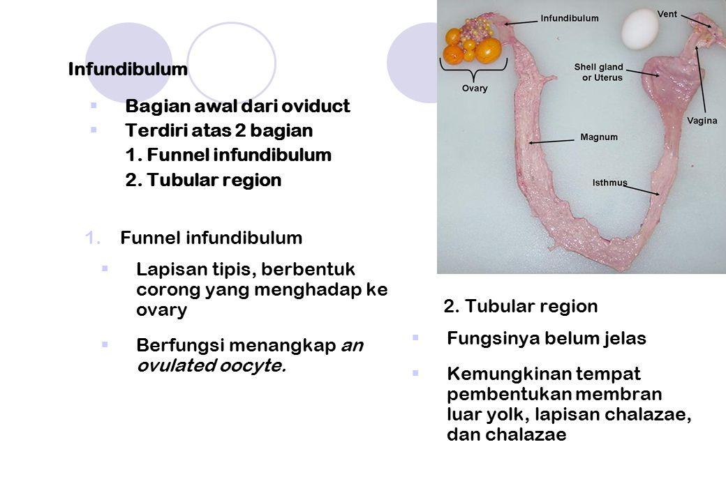 Infundibulum  Bagian awal dari oviduct  Terdiri atas 2 bagian 1. Funnel infundibulum 2. Tubular region 1.Funnel infundibulum  Lapisan tipis, berben