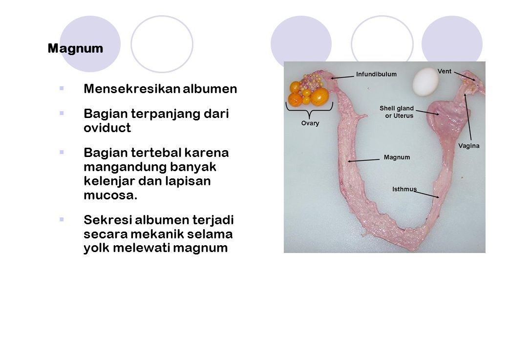Magnum  Mensekresikan albumen  Bagian terpanjang dari oviduct  Bagian tertebal karena mangandung banyak kelenjar dan lapisan mucosa.  Sekresi albu