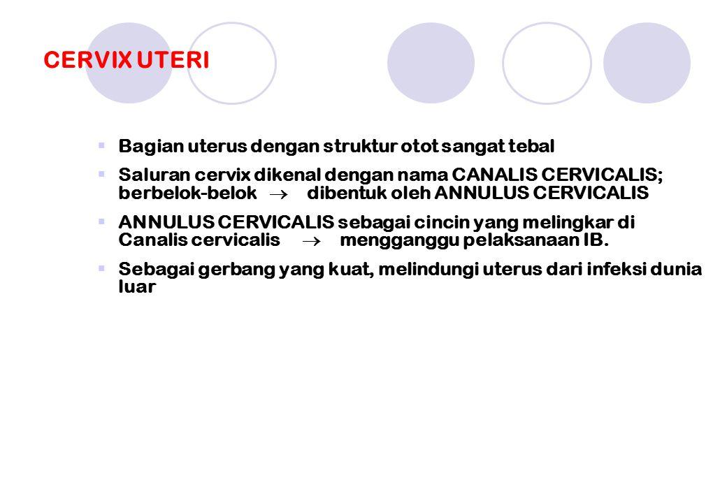 CERVIX UTERI  Bagian uterus dengan struktur otot sangat tebal  Saluran cervix dikenal dengan nama CANALIS CERVICALIS; berbelok-belok  dibentuk oleh