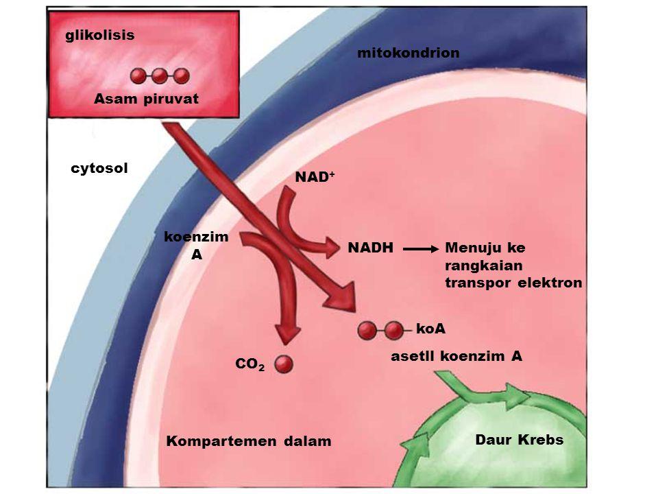 glikolisis Asam piruvat cytosol NAD + koenzim A NADHMenuju ke rangkaian transpor elektron koA CO 2 Kompartemen dalam Daur Krebs mitokondrion asetll koenzim A
