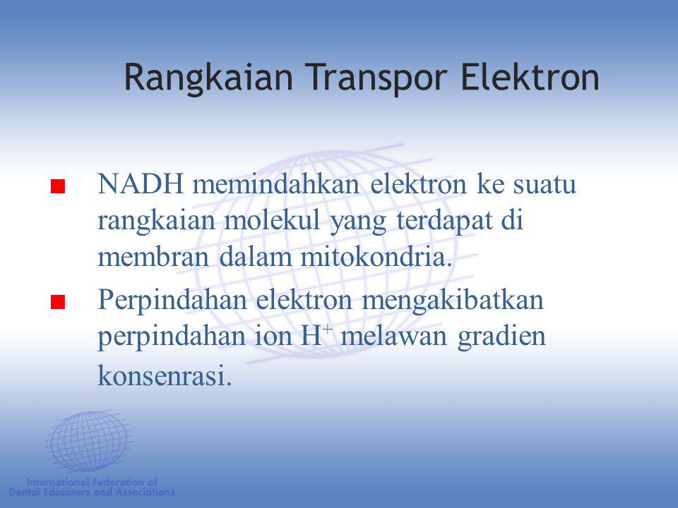 ■ NADH memindahkan elektron ke suatu rangkaian molekul yang terdapat di membran dalam mitokondria.