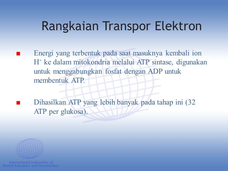 ■ Energi yang terbentuk pada saat masuknya kembali ion H + ke dalam mitokondria melalui ATP sintase, digunakan untuk menggabungkan fosfat dengan ADP untuk membentuk ATP.