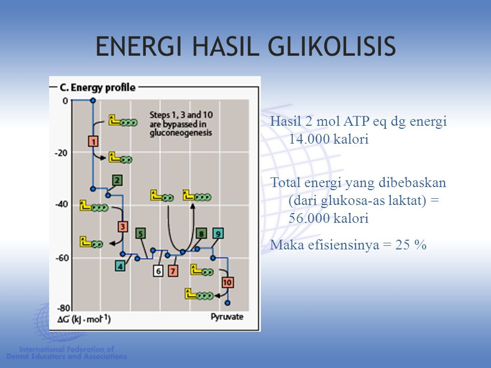 ENERGI HASIL GLIKOLISIS Hasil 2 mol ATP eq dg energi 14.000 kalori Total energi yang dibebaskan (dari glukosa-as laktat) = 56.000 kalori Maka efisiensinya = 25 %