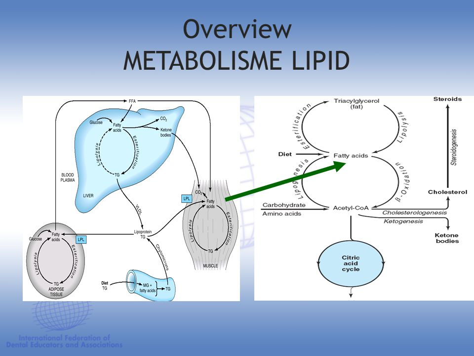 Overview METABOLISME LIPID