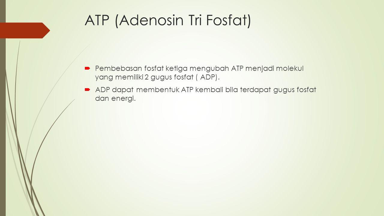 ATP (Adenosin Tri Fosfat)  Pembebasan fosfat ketiga mengubah ATP menjadi molekul yang memiliki 2 gugus fosfat ( ADP).  ADP dapat membentuk ATP kemba