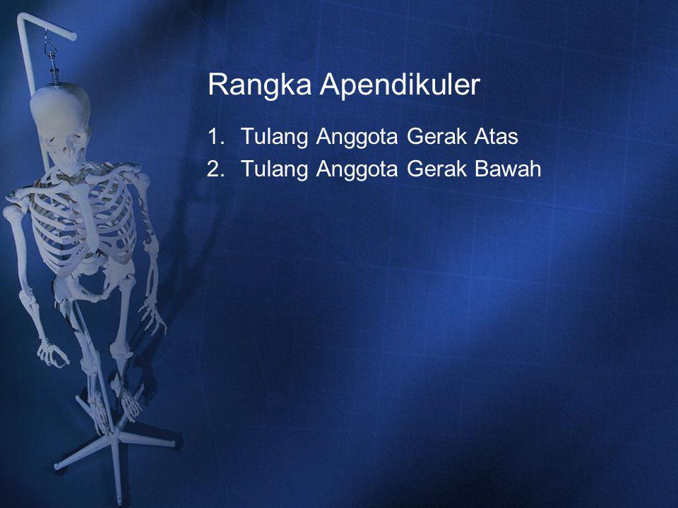 Rangka Apendikuler 1.Tulang Anggota Gerak Atas 2.Tulang Anggota Gerak Bawah
