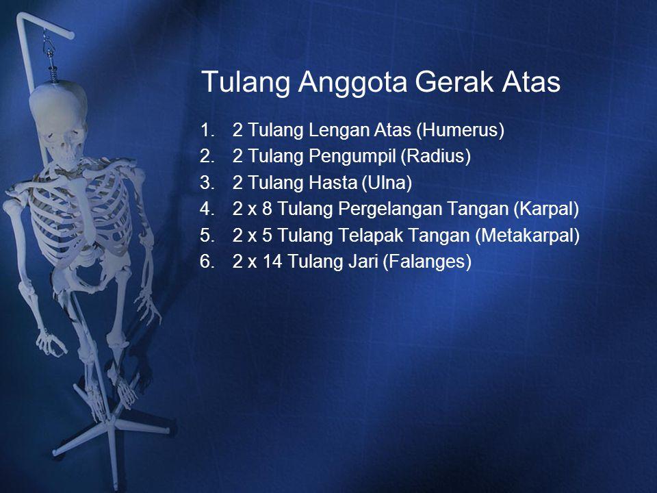 Tulang Anggota Gerak Atas 1.2 Tulang Lengan Atas (Humerus) 2.2 Tulang Pengumpil (Radius) 3.2 Tulang Hasta (Ulna) 4.2 x 8 Tulang Pergelangan Tangan (Ka