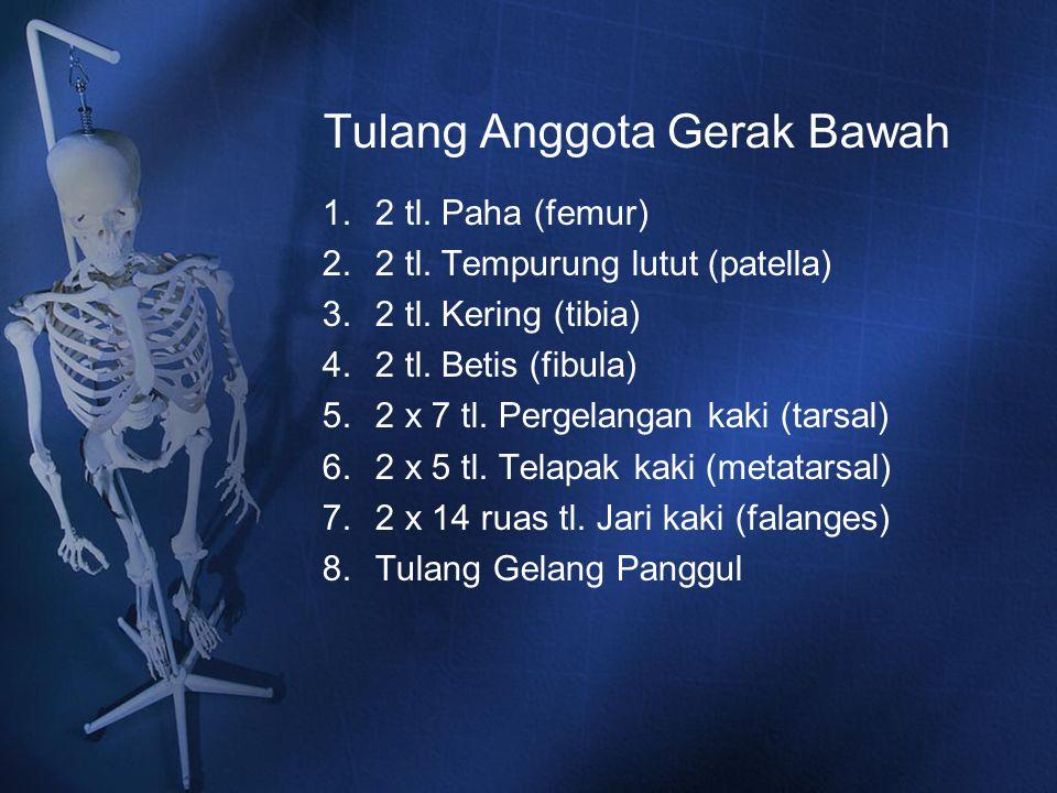 Tulang Anggota Gerak Bawah 1.2 tl. Paha (femur) 2.2 tl. Tempurung lutut (patella) 3.2 tl. Kering (tibia) 4.2 tl. Betis (fibula) 5.2 x 7 tl. Pergelanga