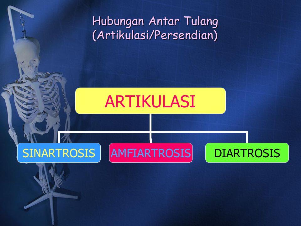 Hubungan Antar Tulang (Artikulasi/Persendian) ARTIKULASI SINARTROSISAMFIARTROSISDIARTROSIS