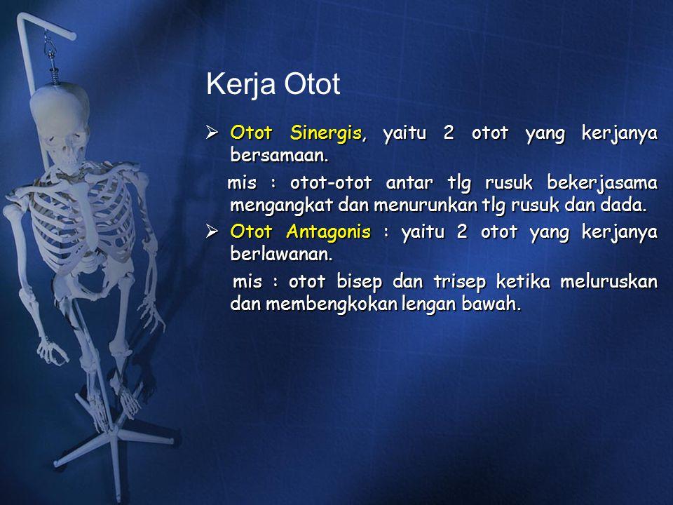 Kerja Otot  Otot Sinergis, yaitu 2 otot yang kerjanya bersamaan. mis : otot-otot antar tlg rusuk bekerjasama mengangkat dan menurunkan tlg rusuk dan