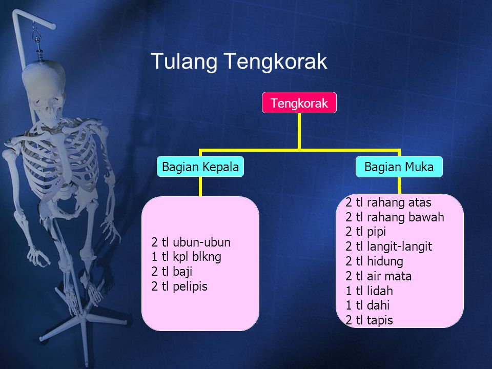 Tulang Tengkorak Tengkorak Bagian Kepala 2 tl ubun-ubun 1 tl kpl blkng 2 tl baji 2 tl pelipis Bagian Muka 2 tl rahang atas 2 tl rahang bawah 2 tl pipi