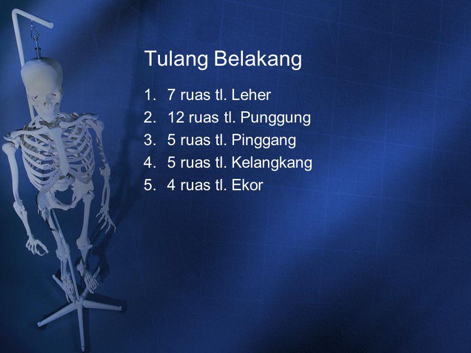Tulang Belakang 1.7 ruas tl. Leher 2.12 ruas tl. Punggung 3.5 ruas tl. Pinggang 4.5 ruas tl. Kelangkang 5.4 ruas tl. Ekor