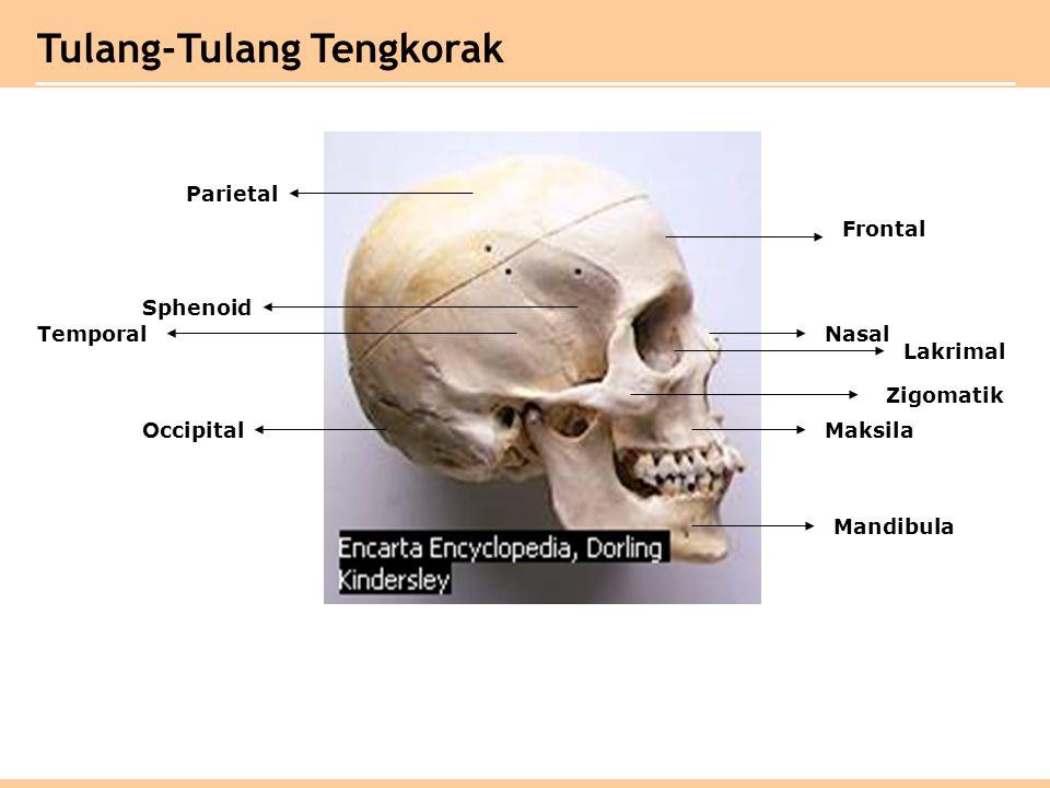 Parietal Sphenoid Temporal Occipital Frontal Zigomatik Maksila Mandibula Lakrimal Nasal Tulang-Tulang Tengkorak