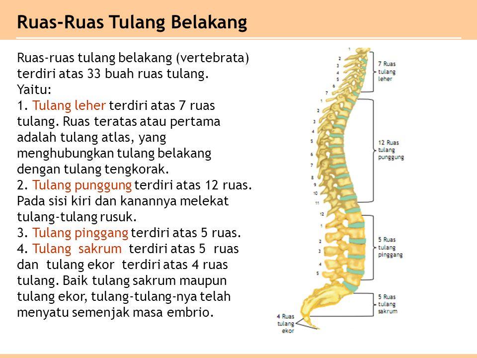 Ruas-ruas tulang belakang (vertebrata) terdiri atas 33 buah ruas tulang. Yaitu: 1. Tulang leher terdiri atas 7 ruas tulang. Ruas teratas atau pertama